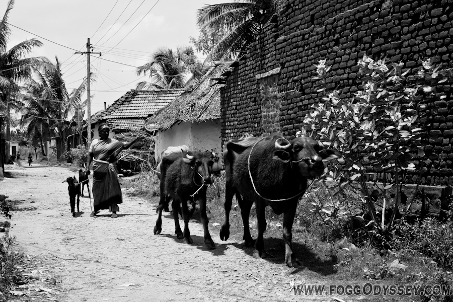 animals rural village
